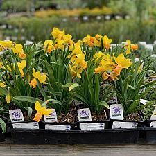 Narcissus 'Tete-a-Tete' - Miniature daffodil