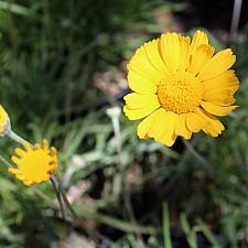 Tetraneuris acaulis var. caespitosa - Angelita daisy