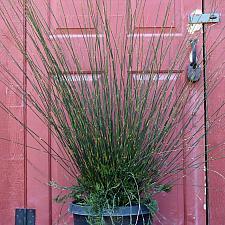 Thamnochortus insignis - Thatching reed