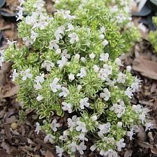 Thymus 'Hartington Silver' - Thyme