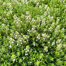 Thymus vulgaris 'Compactus' - Thyme