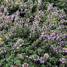 Thymus 'Doone Valley' - Thyme