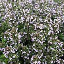 Thymus vulgaris 'Dot Wells' - Dot Wells thyme