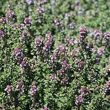 Thymus vulgaris 'Hi Ho Silver' - Hi Ho Silver thyme