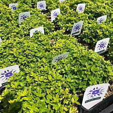 Thymus x citriodorus 'Lime' - Lime thyme