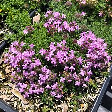 Thymus serpyllum 'Pink Chintz' - Thyme