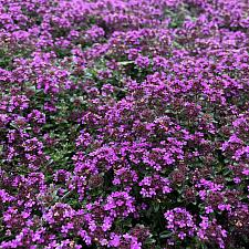Thymus 'Red Creeping' - Red Creeping thyme