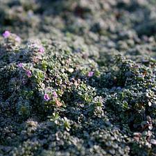 Thymus serpyllum 'Elfin' - Elfin thyme
