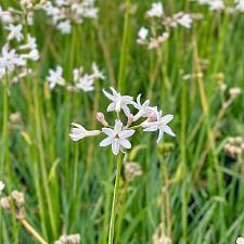 Tulbaghia violacea 'Snow Flurry' - Society garlic
