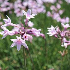 Tulbaghia x 'Ashanti' - Society Garlic