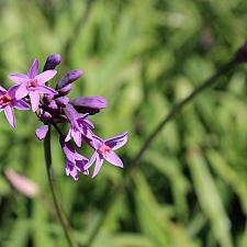 Tulbaghia x hybrida 'Himba' - Society Garlic