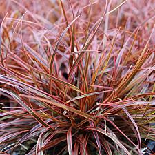 Uncinia rubra 'Belinda's Find' - Hook sedge