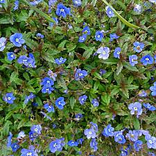Veronica peduncularis 'Georgia Blue' - Speedwell