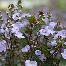 Veronica 'Waterperry Blue' - Speedwell