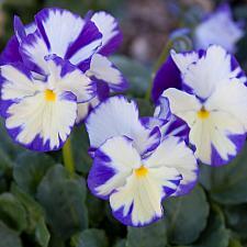 Viola x wittrockiana 'Rebecca' - Viola