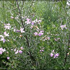 Westringia fruticosa 'Wynyabbie Gem' - Coast rosemary