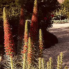 Echium wildpretii - Tower of jewels