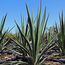 Yucca 'Blue Sentry' - Blue Sentry Yucca