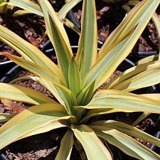 Yucca 'Bright Star' - Yucca
