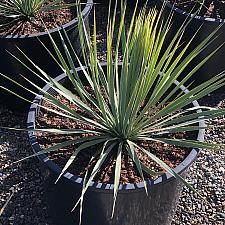 Yucca rostrata 'Sapphire Skies' - Sapphire Skies Blue Beaked Yucca