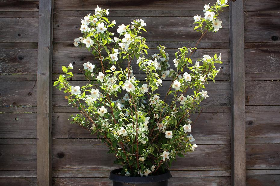 Philadelphus 'Belle Etoile' - Mock orange