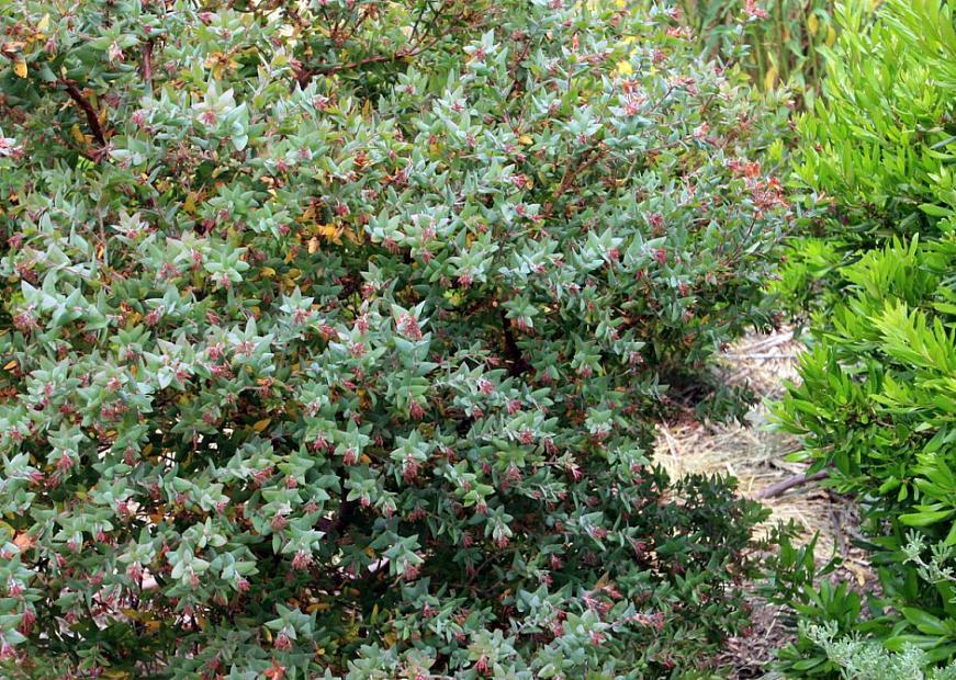 Arctostaphylos pajaroensis 'Paradise' - Pajaroensis manzanita