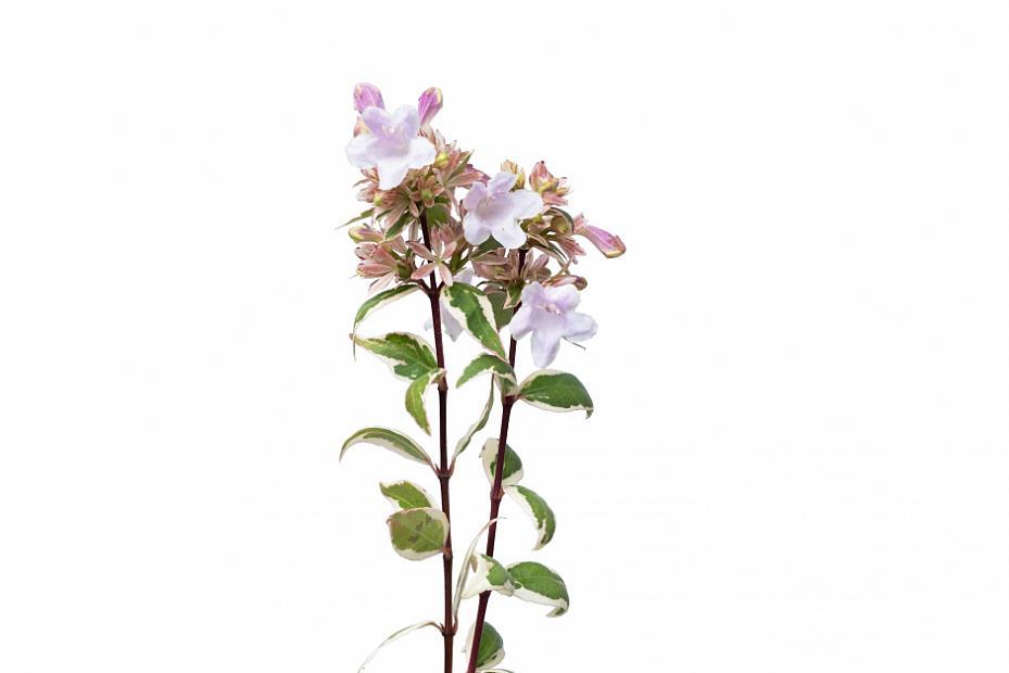 Abelia x grandiflora 'Radiance' - Radiance abelia