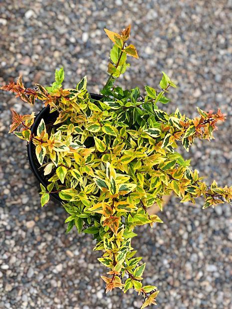 Abelia x grandiflora 'Kaleidoscope' - Kaleidoscope abelia