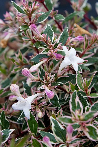 Abelia x grandiflora 'Conti' Confetti® - Variegated glossy abelia