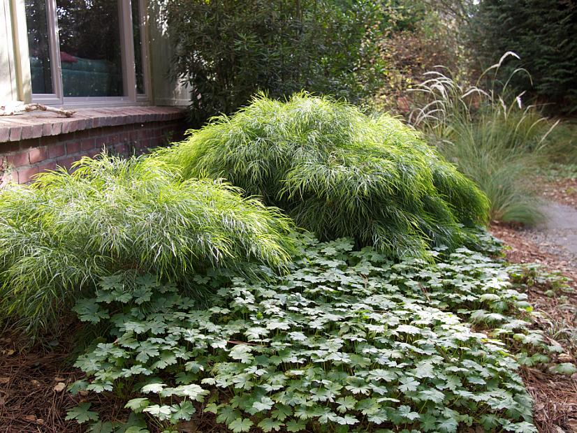 Acacia cognata 'Cousin Itt' (Mini Cog) - Little River wattle