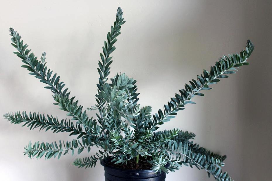 Acacia covenyi - Blue bush