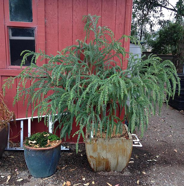 Acacia vestita - Hairy wattle