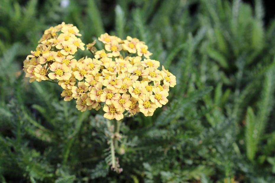 Achillea millefolium 'Sunrise' - Yarrow