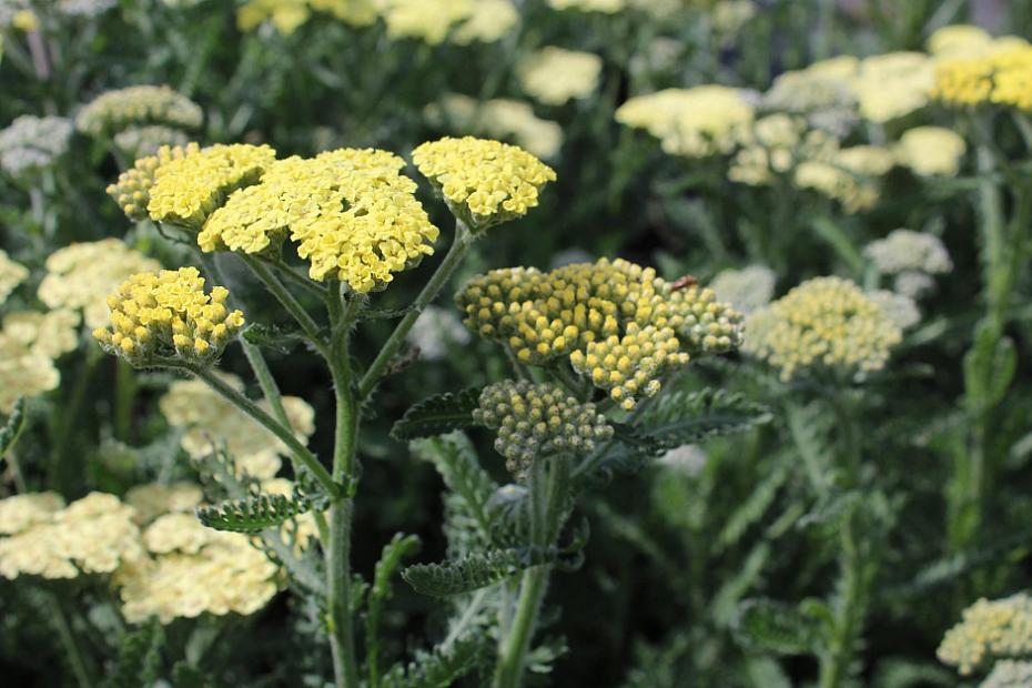 Achillea 'Moon Dust' ™ - Yarrow