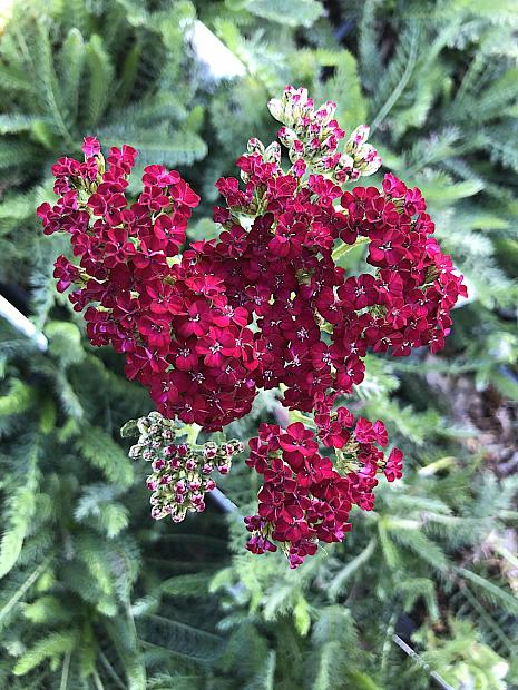 Achillea millefolium 'New Vintage Red' - Yarrow