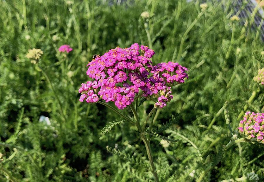 Achillea millefolium 'Purple Form' - Yarrow