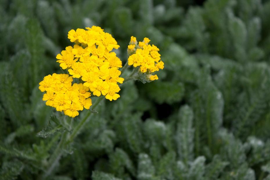 Achillea tomentosa 'Maynard's Gold' - Yarrow