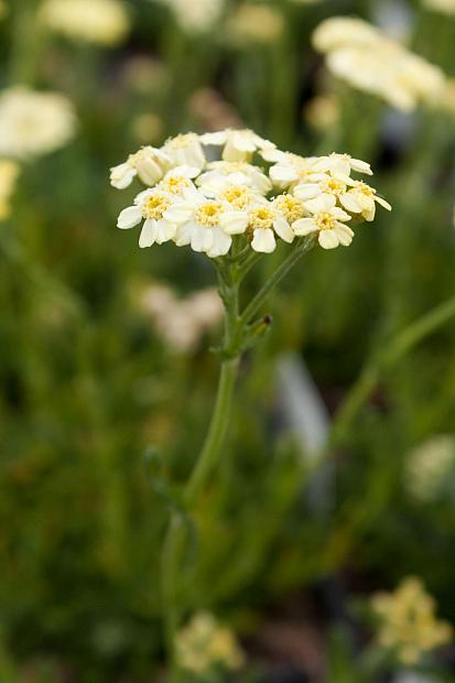 Achillea x lewisii 'King Edward' - Yarrow