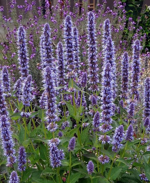 Agastache 'Blue Fortune' - Giant hyssop