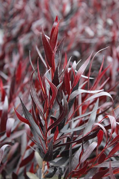 Agonis flexuosa 'After Dark' - Willow myrtle