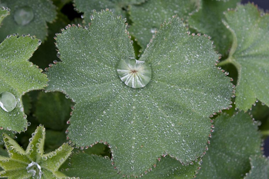 Alchemilla mollis 'Auslese' - Lady's mantle
