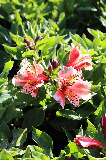 Alstroemeria 'Inca Husky' - Peruvian Lily