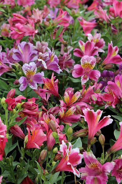 Alstroemeria 'Premier Compact Series' - Peruvian lily