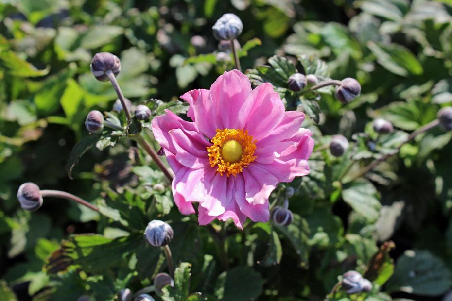 Anemone Fantasy™ 'Pocahontas' - Japanese anemone