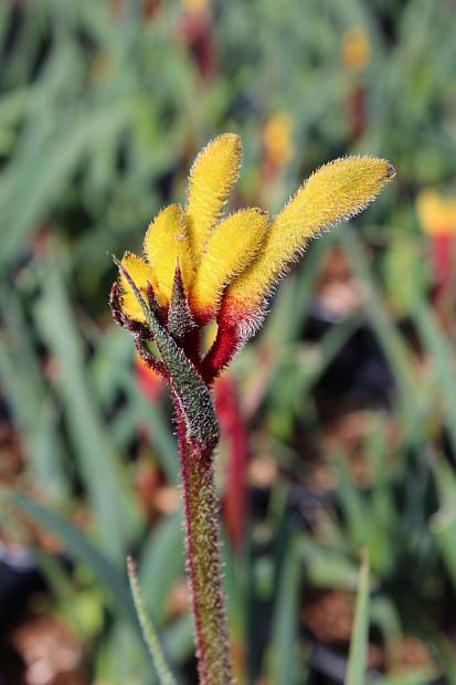 Anigozanthos Pot-A-Roo™ 'Red Sunrise' - Kangaroo Paw