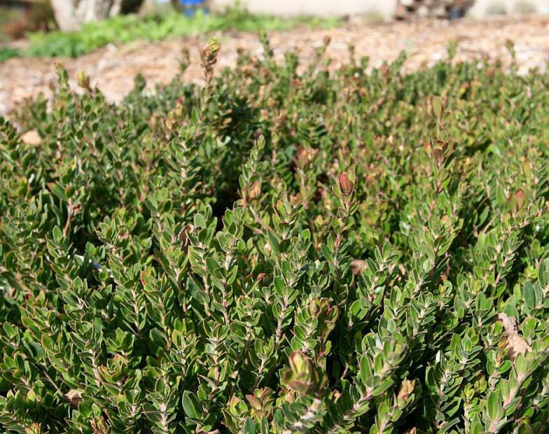 Arctostaphylos edmundsii 'Carmel Sur' - Little Sur manzanita