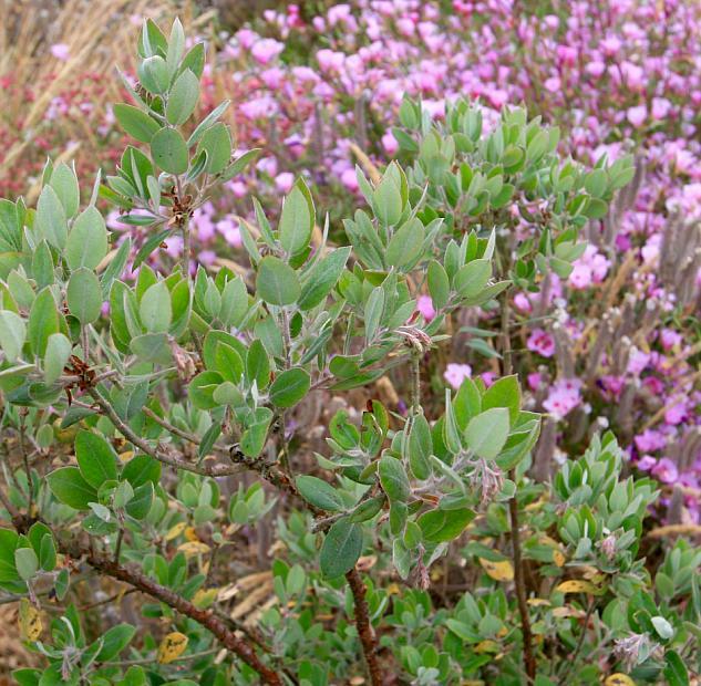 Arctostaphylos silvicola - Silverleaf manzanita