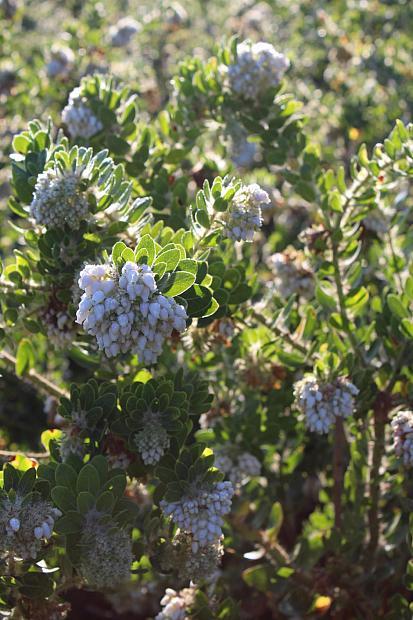 Arctostaphylos purissima 'Vandenberg' - Manzanita