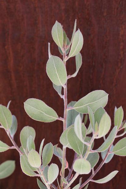 Arctostaphylos silvicola 'Ghostly' - Ghostly Manzanita