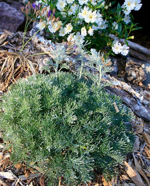 Artemisia pycnocephala 'David's Choice' - Coastal sagebrush